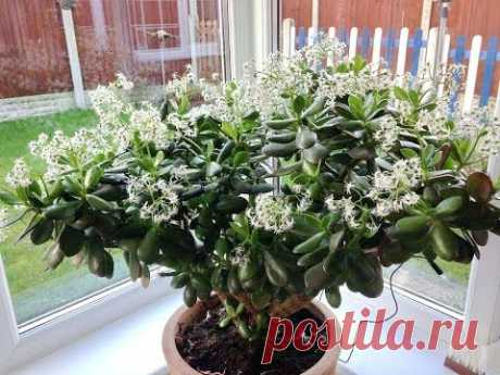 Why the MONETARY TREE does not blossom? How to force to blossom the CRASSULA
