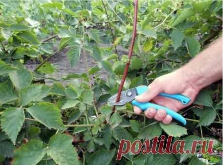 ЕЖЕВИКА САДОВАЯ: ПОСАДКА, ОБРЕЗКА И УХОД Основное отличие ежевичных кустов — это способность плодоносить даже в условиях засухи, плохого ухода или неправильно подобранного места. Плоды хорошо вызревают как в полутени, так и на солнечных участках. Полностью спелой ягода становится как только приобретет черный оттенок. Посадка Для получения наилучшего как по качеству, так и по количеству урожая, садовая ежевика должна быть высажена в месте, которое защищено от продувания. Это так же обеспечит в