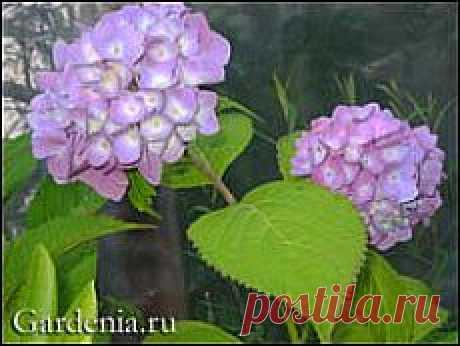 Гортензия: самый лёгкий приём размножения   Самоцветик