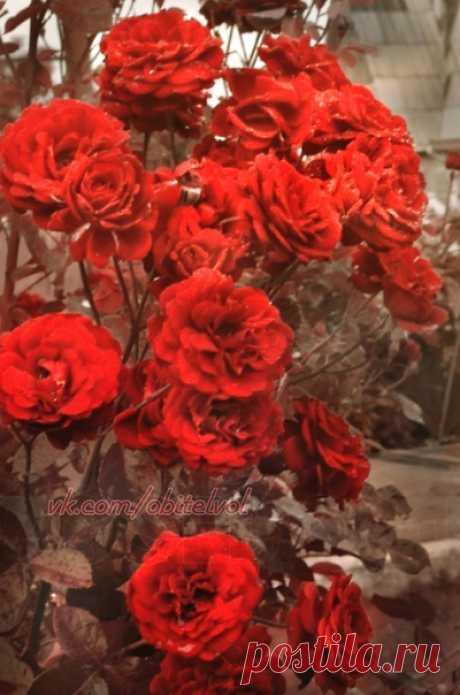 Душа исполнена влиянья Таинственных метаморфоз: В ней стало музыкой дыханье, А голос — ароматом роз!  ~ Шарль Бодлер #обитель_розы #обитель_красное #обитель_природа