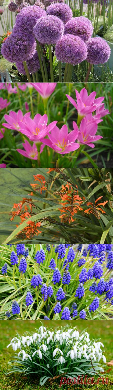 Сроки посадки луковичных и клубневых цветов