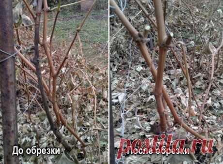 Осенняя обрезка винограда: советы Николая Сергеева | Личный опыт (Огород.ru)