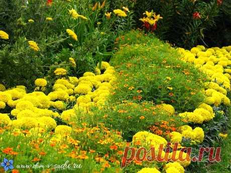 """Мастер класс """"Как посадить бархатцы на рассаду правильно"""" Обожаю эти желтые цветочки."""