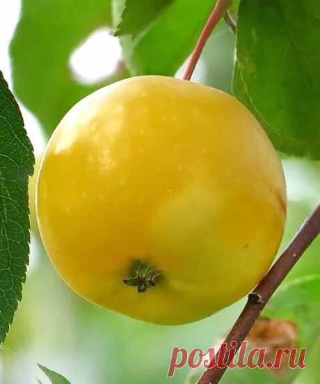 Яблоня Китайка Золотая ранняя купить в Москве в интернет-магазине Садовый Мир