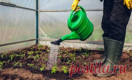 Как ухаживать за рассадой помидоров в теплице после высадки | На грядке (Огород.ru)