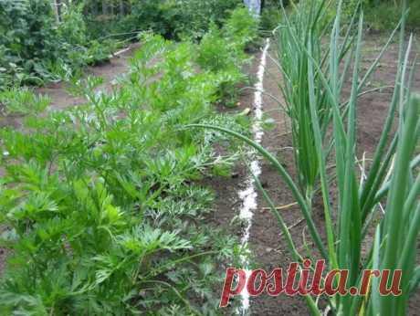 6 причин посадить лук и морковь на одной грядке   Блоги о даче и огороде, рецептах, красоте и правильном питании, рыбалке, ремонте и интерьере