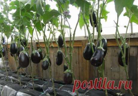 Как выращивать баклажаны в теплице. Основные принципы | ОГОРОД, где все растет🌻🌼🍏 | Яндекс Дзен