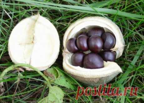 Чекалкин орех (20 семян).