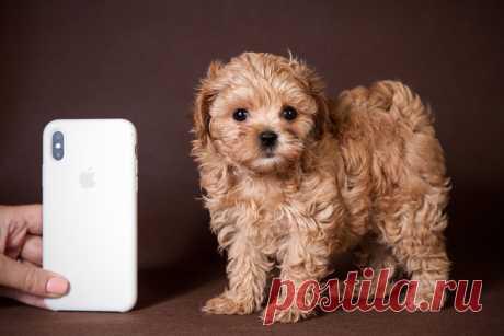 Мальтипу -новая красивая порода собак!