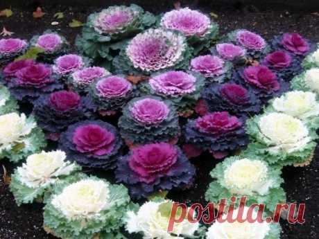 ¡La col decorativa! La belleza))))