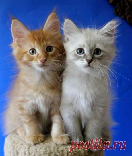 Два друга. Два котика, невский маскарадный и мейн-кун.