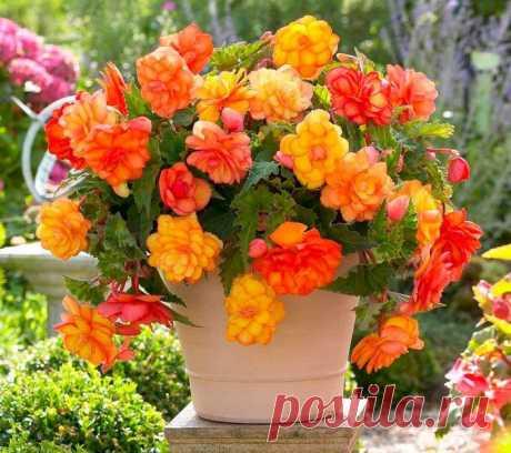 Бегония домашняя Такое растение, как бегония (Begonia) относится к самому известному и многочисленному роду семейства бегониевые. Данный род объединяет примерно 1 тыс. видов разнообразных растений, которые в природных...