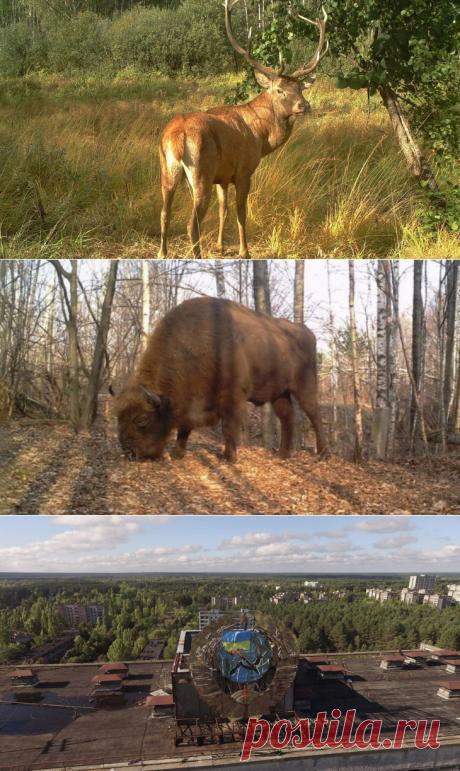 Дикие животные в зоне отчуждения Чернобыля   ФОТО НОВОСТИ