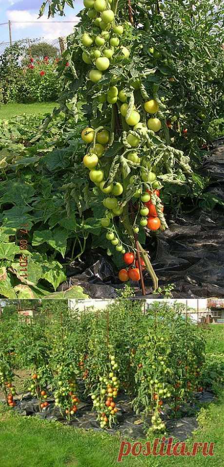 Урожайные помидоры..