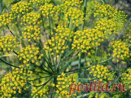 Fennel will ascend in 3 days! Grandmother's cunning method | Summer season | Yandex Zen