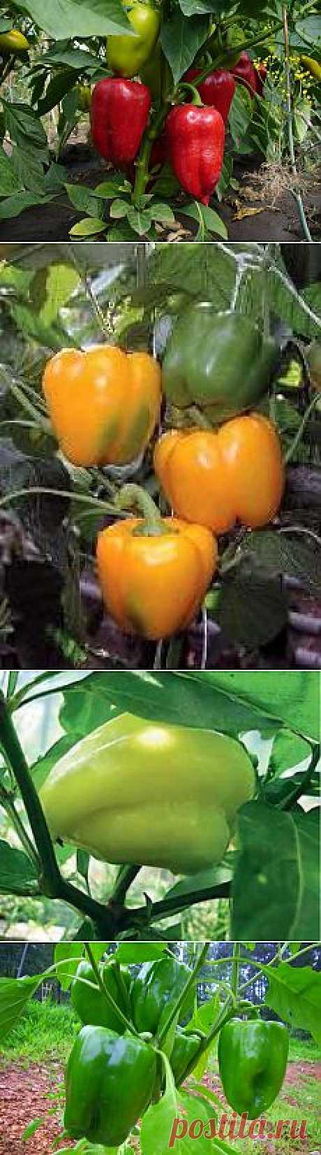 Сладкий перец. Советы по уходу и выращиванию.