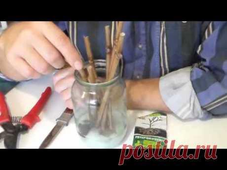 Виноград Проращивание черенков в воде