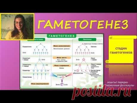 ГАМЕТОГЕНЕЗ (сперматогенез, оогенез)