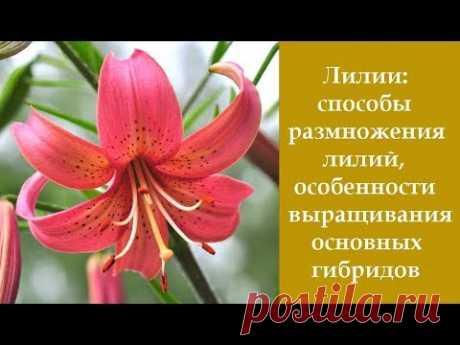 ❀ Лилии: размножения лилий, особенности выращивания основных гибридов