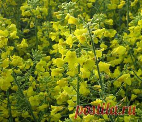 Самый эффективный сидерат Горлица - действительно самый эффективный сидерат из всех рапсов. Это растение семейства крестоцветных с яркими желтыми цветками. Озимые рапсы, рекомендованные для улучшения структуры и повышения плодородия почвы, в значительной мере ее закисляют. Горлица же имеет минимальное количество...