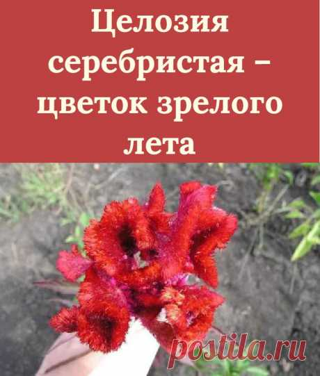 Целозия серебристая – цветок зрелого лета
