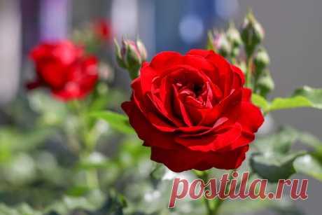 Чтобы ваши розы цвели с мая и до заморозков, соблюдайте три простых правила | Дневник отчаянных пенсионеров | Яндекс Дзен