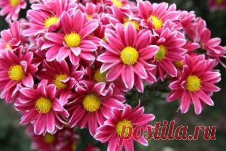 Картинки хризантем (38 фото) ⭐ Забавник