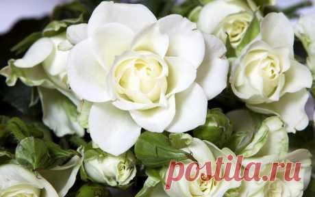 Розы, цветы, белый, цветок, ложь обои на рабочий стол