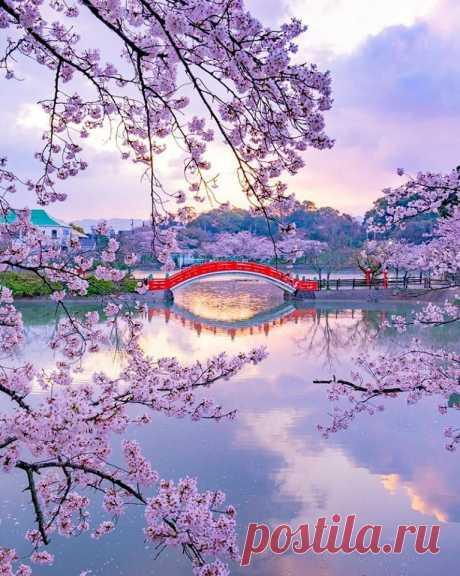 Когда цветёт сакура...