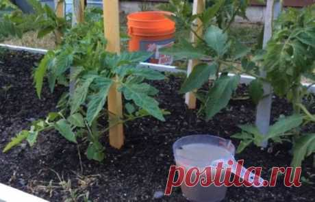 Ось навіщо помідорам кухонна сіль – potik.biz.ua