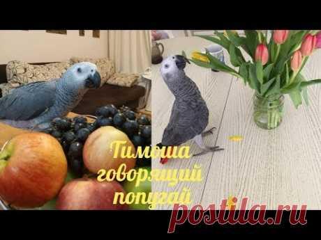 Тимоша говорящий попугай, вид Жако. Подборка видео #11