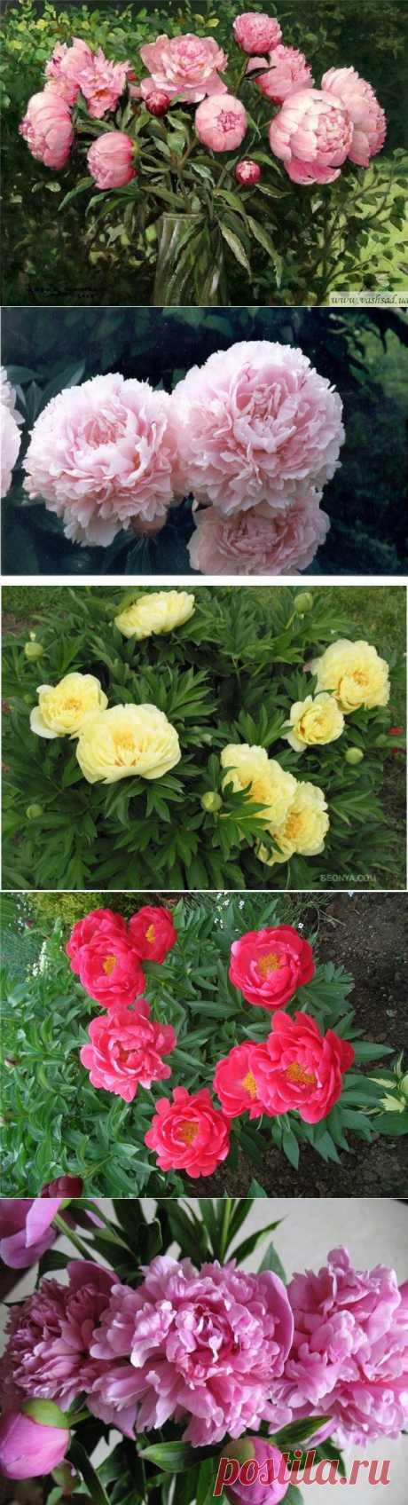фото цветы пионы: