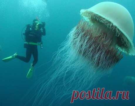 Волосистая ционея: Медуза, которая может вырасти длиннее синего кита, и её цикл жизни