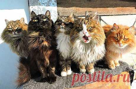 На ферме Аллы Лебедевой в районе Барнаула проживают сотни сибирских кошек. Эта порода была выведена в районе 1870-х годов и известна своим выдающимся умом. Алла вместе со своим мужем Сергеем начали разводить усатых-полосатых в 2004 году, когда их первая кошка по кличке Бабушка стала мамой и у нее родились пятеро рыжих котят. С тех пор поголовье усатых сибиряков на ферме выросло и они в буквальном смысле заполонили все. Питомцы Лебедевой спят в курятнике, где хозяйка оборудовала для них три…