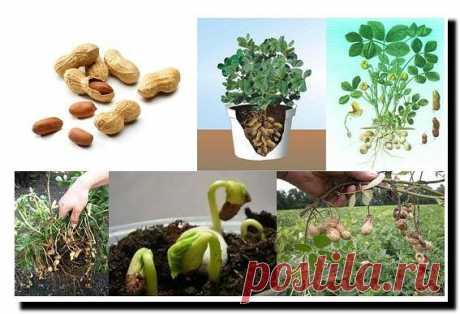 Как вырастить земляной орех - арахис  Мне всегда (также как и другим дачникам) хотелось вырастить что-то такое на участке, что удивило бы моих соседей. Живу в Подмосковье и как-то прочитала статью, что вырастить земляной орех-арахис можн…