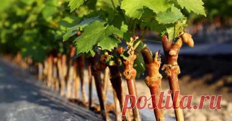 Как размножить виноград весной Мечтаете о винограднике на дачном участке? Весна – лучшее время для размножения винограда.
