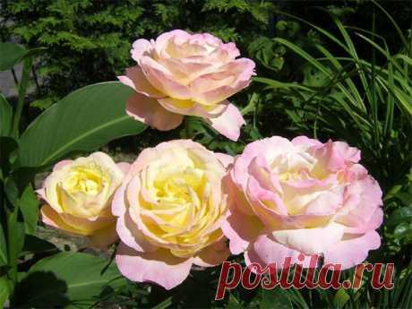 Чем подкормить розы весной для пышного цветения на даче. Лучший рецепт моей бабушки! | Цветы в квартире и на даче – от Радзевской Виктории | Яндекс Дзен