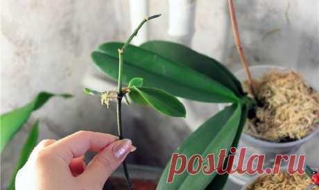Как вырастить детку на орхидее   Делимся советами