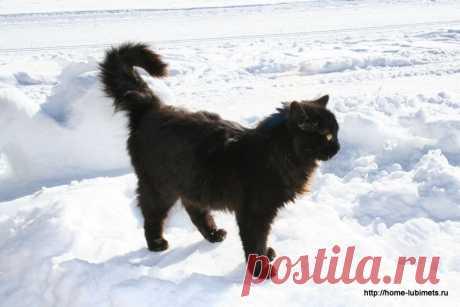 Черная кошка на снегу