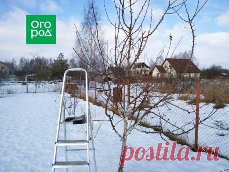 Как обрезать грушу зимой – подробный мастер-класс с фото | Яблоня, груша (Огород.ru)