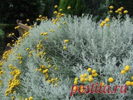 Сантолина кипарисовидная, или сизая (Santolina chamaecyparissus)