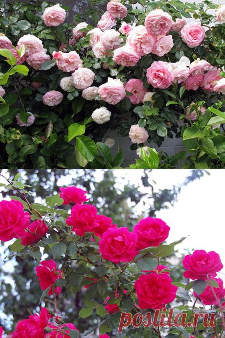 Плетистые розы – посадка и уход: фото плетистых роз, размножение и обрезка плетистой розы, сорта плетистых роз
