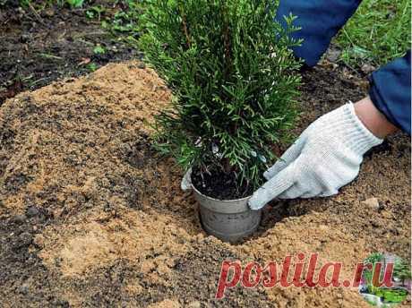 СЕКРЕТЫ ВЫРАЩИВАНИЯ ТУИ  В настоящее время в ландшафтном дизайне стало очень модно использовать хвойные растения. Они не прихотливы, вечно зеленые: круглый год на участке стоят зеленые красавицы и красавцы. Есть один минус: туя - дерево не из дешевых и многим оно не по карману. Цены колеблются от нескольких сот до нескольких тысяч рублей в зависимости от сорта и возраста растения. Поэтому можно попробовать вырастить свою тую. А если дело пойдет можно, то можно попробовать ...