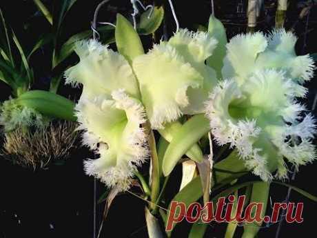 ВИДЫ ОРХИДЕЙ #orchid_varieties ПРЕКРАСНЫЕ #бульбофиллум #брассокатлея #хабенария #лелия #oldenburgru - YouTube