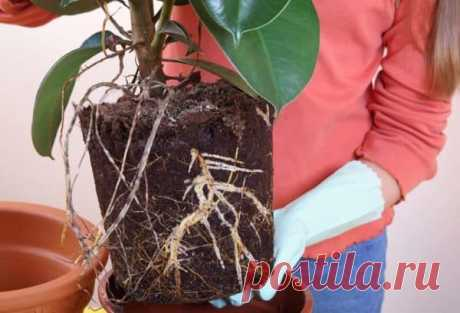 Размножение, формирование кроны и уход за фикусом каучуконосным дома