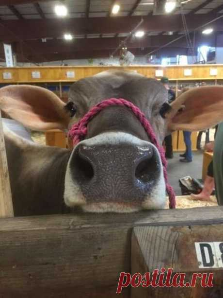 Милые снимки с коровами, которые легко завоюют ваше сердце . Тут забавно !!!