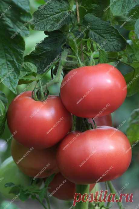Сорта томатов, которые мы рекомендуем выращивать в сезоне 2019 — Ботаничка.ru