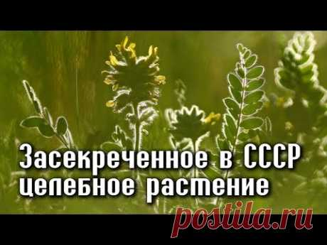 ЗАСЕКРЕЧЕННОЕ РАСТЕНИЕ в СССР, для избранных - ЛЕЧИТ ПОЧТИ ВСЕ БОЛЕЗНИ!