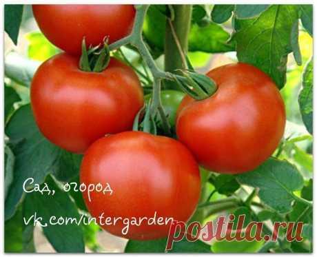 Защищаем и подкармливаем помидоры