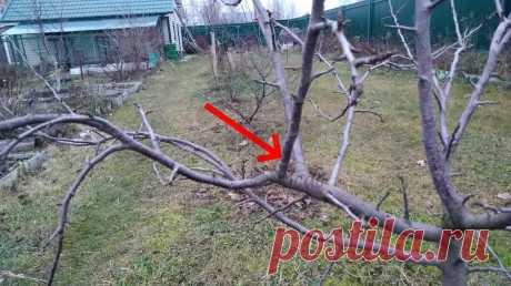 Обрезка яблони осенью для начинающих. Все этапы. | Посад | Яндекс Дзен